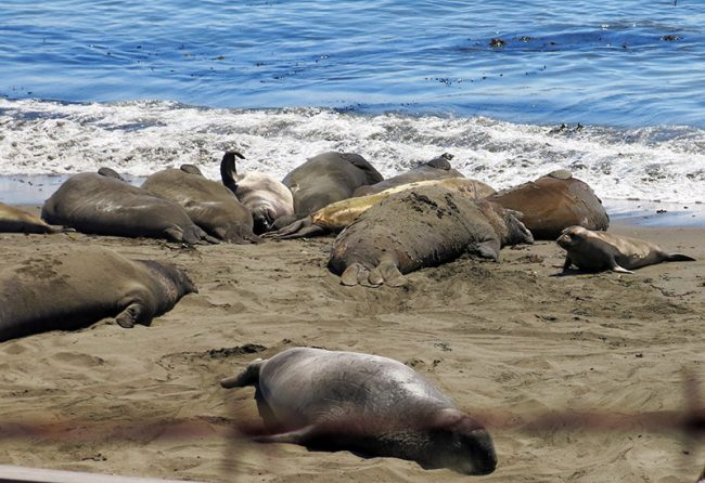 Elephant Seals on the PCH by Jets Like Taxis